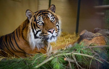 Tigern - Edinburgh Zoo - Schottland